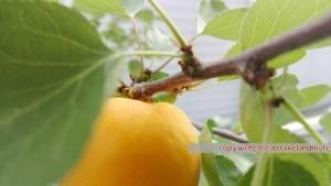 Die eigenen Marillen sind die Besten - Die Ernte steht kurz bevor!